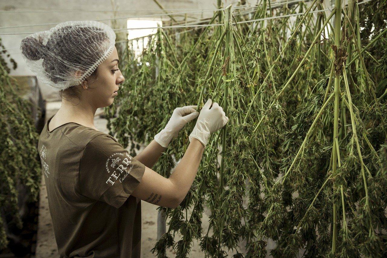 produsenter av cannabisolje av høy kvalitet